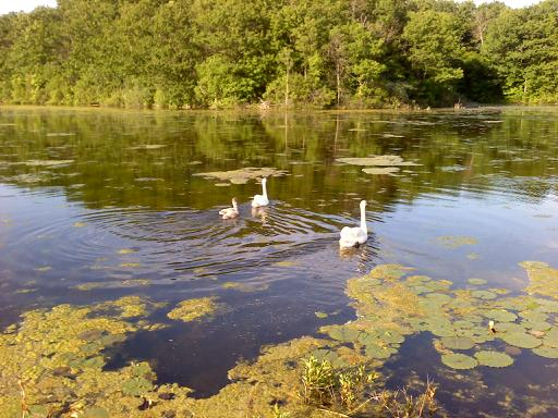 The swans in June.